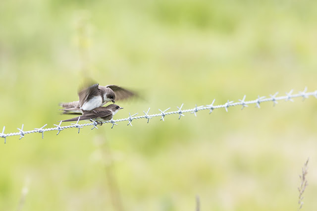 Sand Martin copulating on barbed wire fence