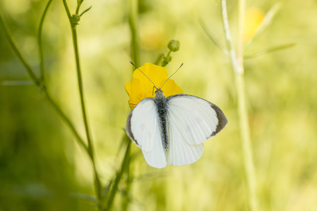 Large White Butterfly on Buttercup