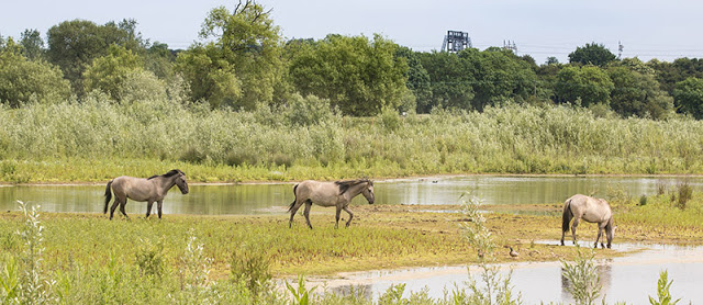 Walking the Island - Konik Horses