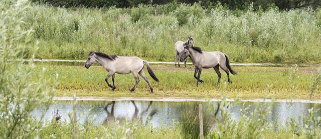 On the move - Konik Ponies