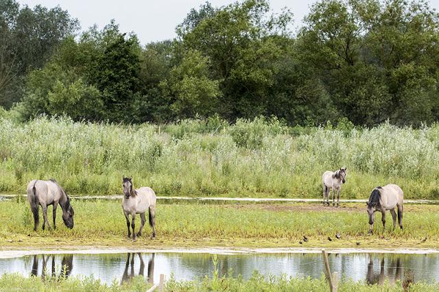 Konik Horses at the Floodplain Forest Nature Reserve