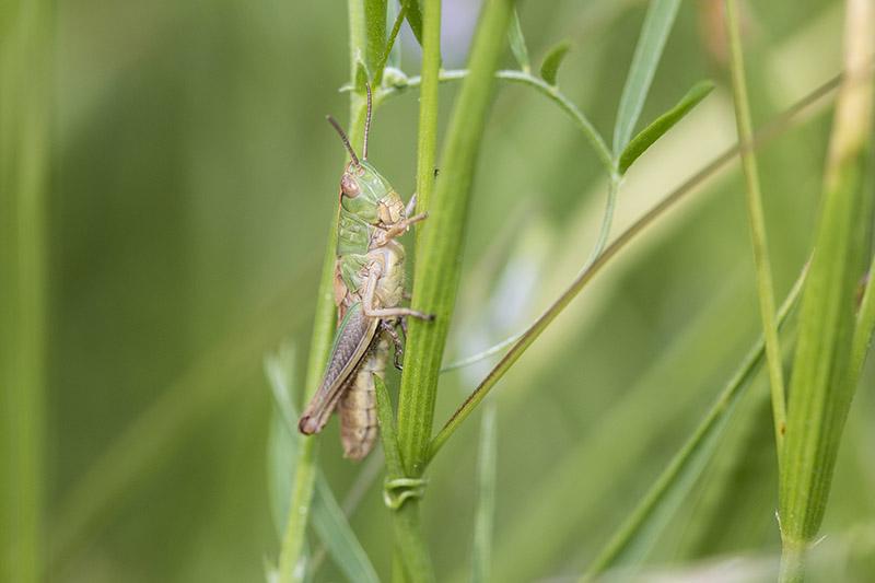 Common Green Grasshopper
