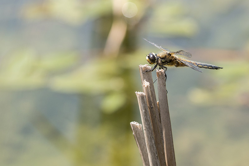 Another Four Spotted Chaser
