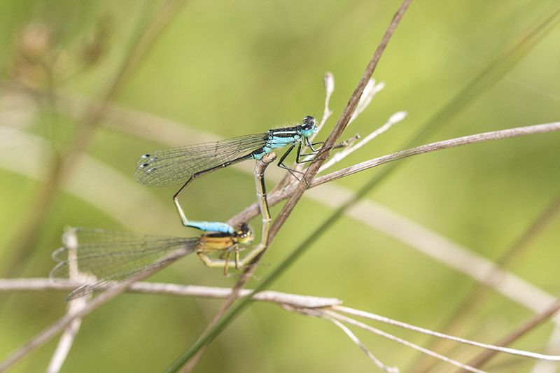 Blue-tailed Damselfly mating