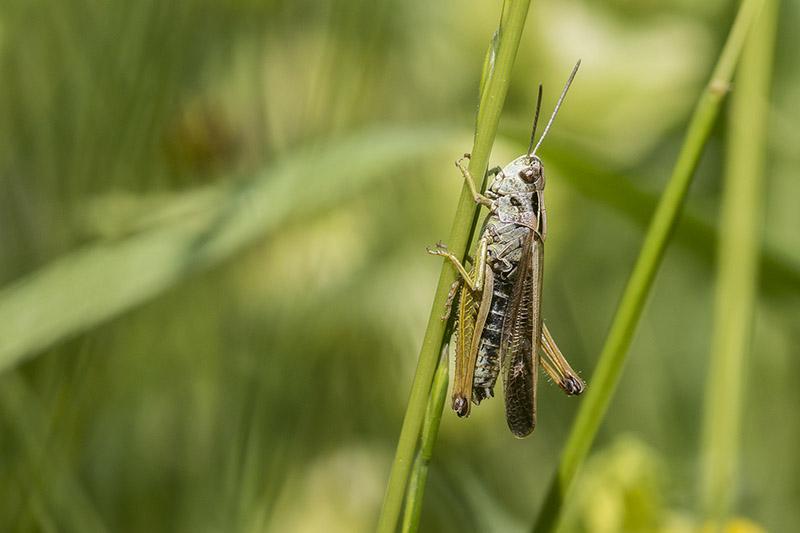 Common Green Grasshopper (I think)