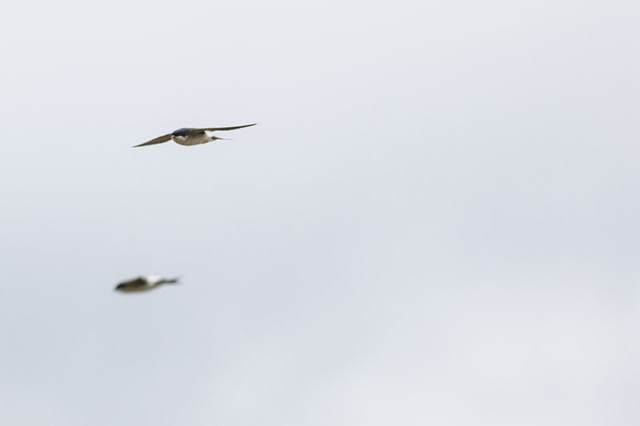two House Martin