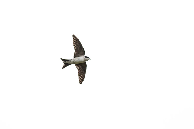 Another House Martin