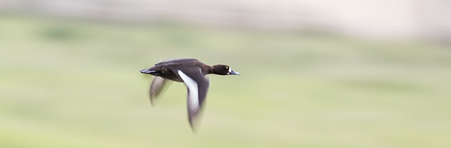 Female Tufted Duck in Flight
