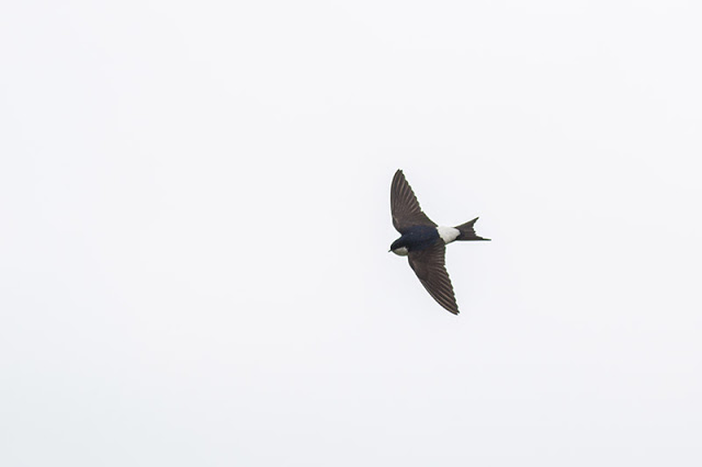 You can hopefully see the striking blue of this House Martin