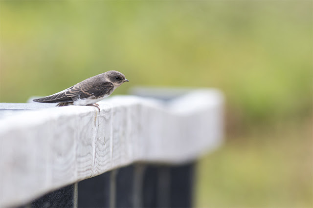 Ready to fly - Sand Martin