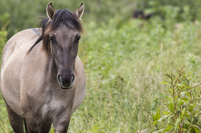 On the move - Konik Pony