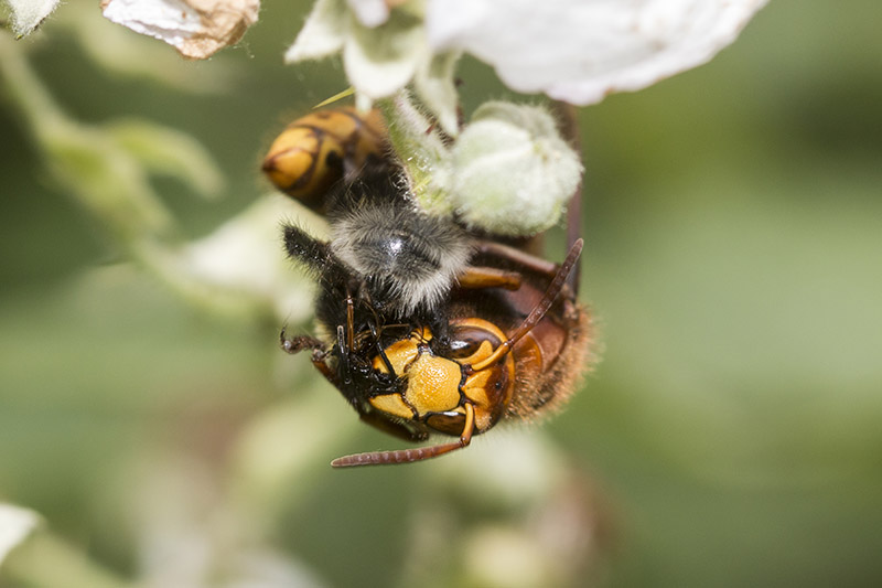 Hornet eating a Bee