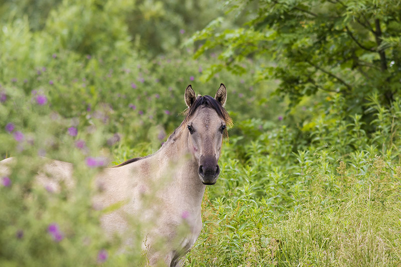 Chattering Masses - Konik Pony