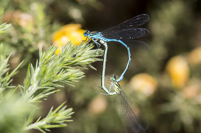 Mating Azure Damselfly