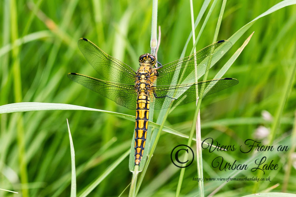 Black-Tailed Skimmer (Orthetrum cancellatum) female - Loughton Valley Park, Milton Keynes (2014)