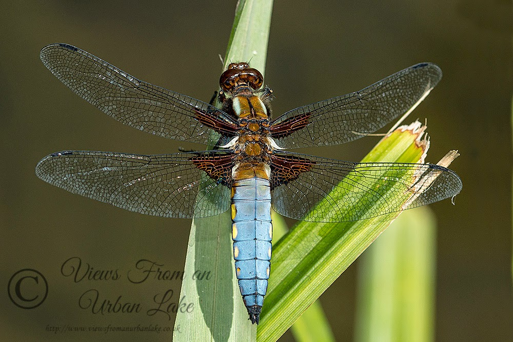 Broad-Bodied Chaser (Male) (Libellula depressa) Photographed in Loughton Valley Park, Milton Keynes (2014)
