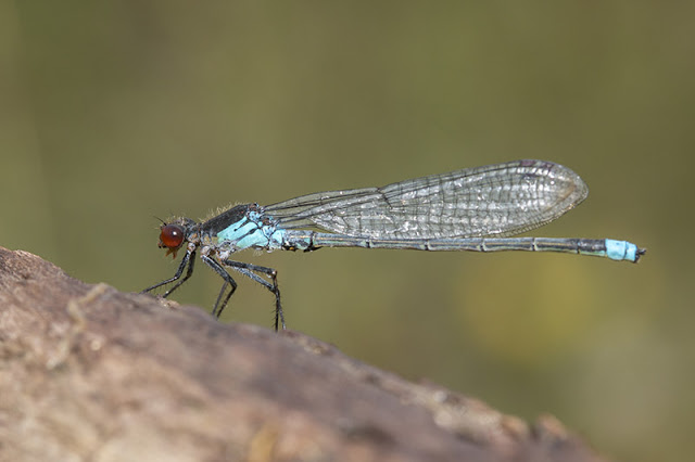 Red-Eyed Damselfly (Erythromma najas) photographed at Tattenhoe Park, Milton Keynes (2017)
