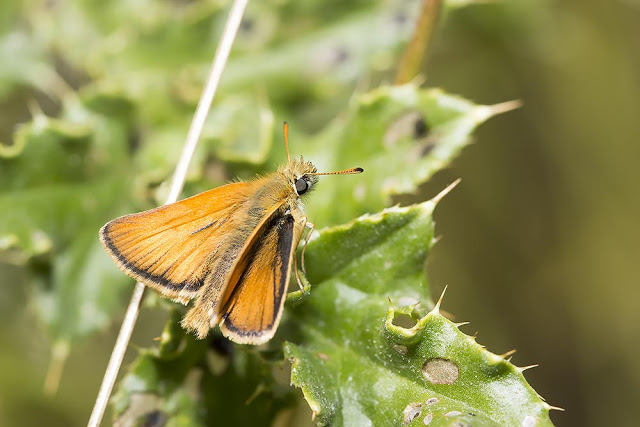 Essex Skipper - Stony Stratford Nature Reserve, Milton Keynes (2015)