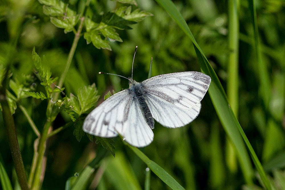 Green-veined White - Linford Wood, Milton Keynes (2012)