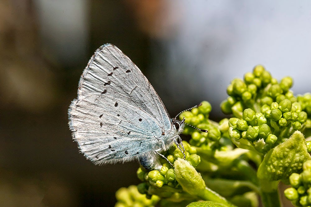 Holly Blue (Female laying eggs) - Great Holm (my Garden), Milton Keynes (2013)