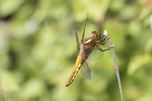 Broad-Bodied Chaser (Female) (Libellula depressa) Photographed in Howe Park Wood, Milton Keynes (2017)