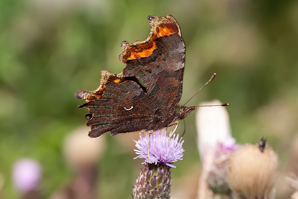 Comma - Loughton Valley Park, Milton Keynes (2013)