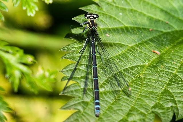 Azure Damselfly, female (Coenagrion puella), Photographed, Lodge Lake, Milton Keynes, 2013