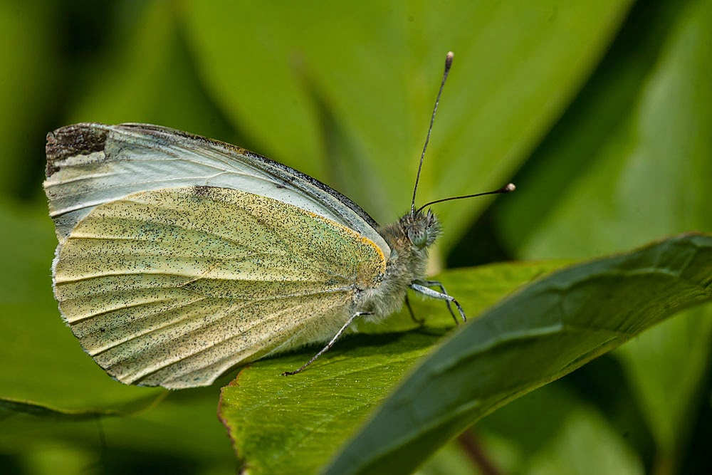 Large White - Loughton Valley Park, Milton Keynes (2013)