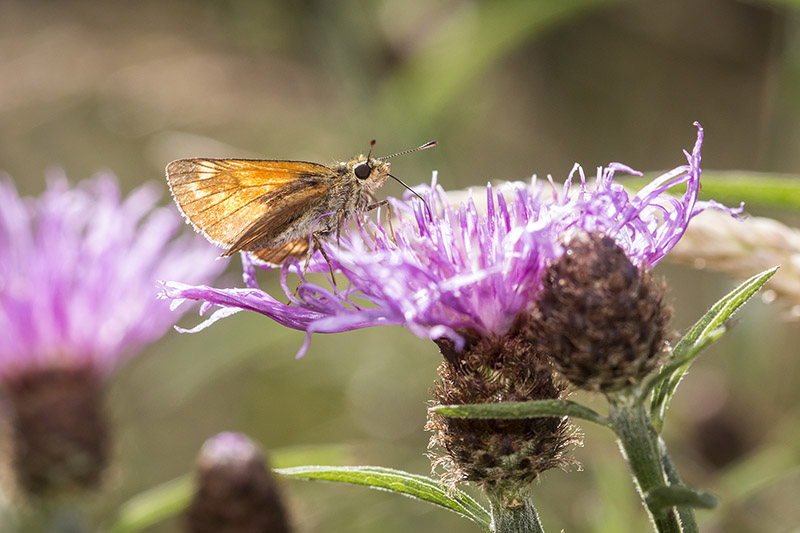 Butterfly Hunt Oakhill Woods - Large Skipper on purple flower