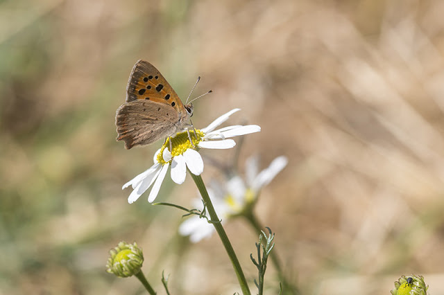 Small Copper - Oakhill Wood, Milton Keynes (2017)