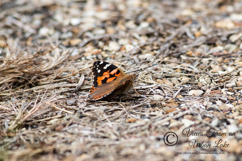 Painted Lady on a path - Manor Farm, Milton Keynes (2014)