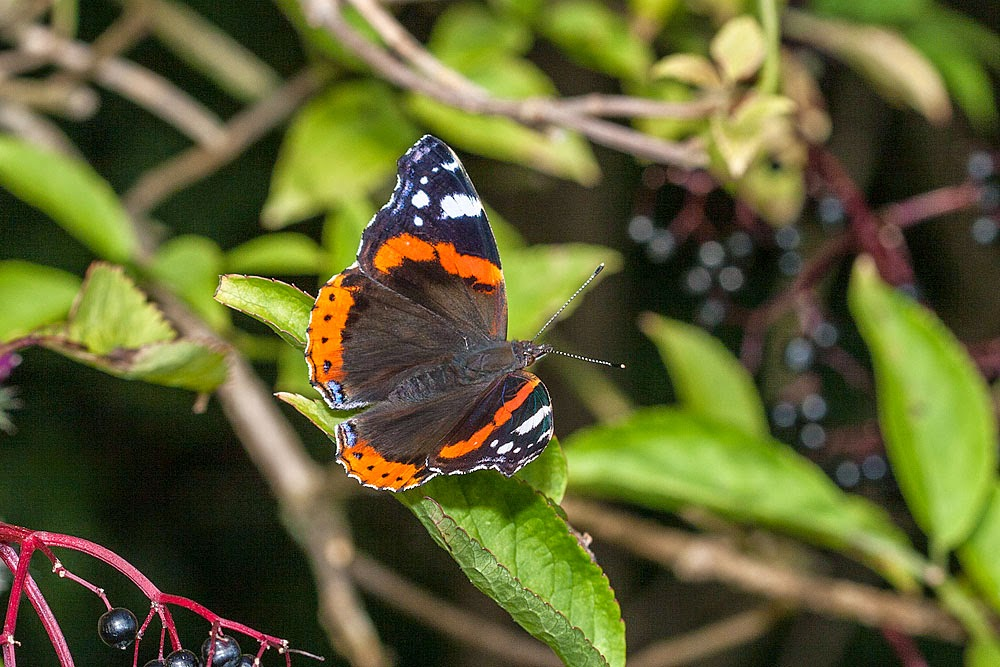 Red Admiral - Linford Wood, Milton Keynes (2012)