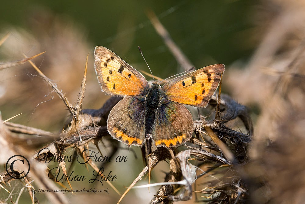 Small Copper (Autumn so more golden now) - Wolverton Mill (Aqueduct), Milton Keynes (2104)