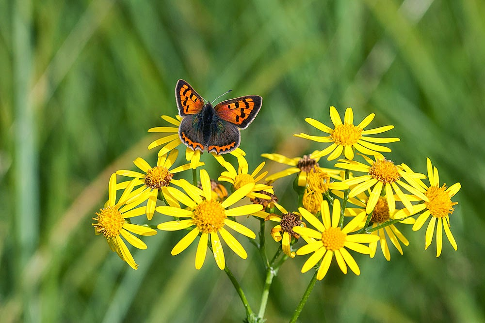 Small Copper - Stonepit Fields Park, Milton Keynes (2012)