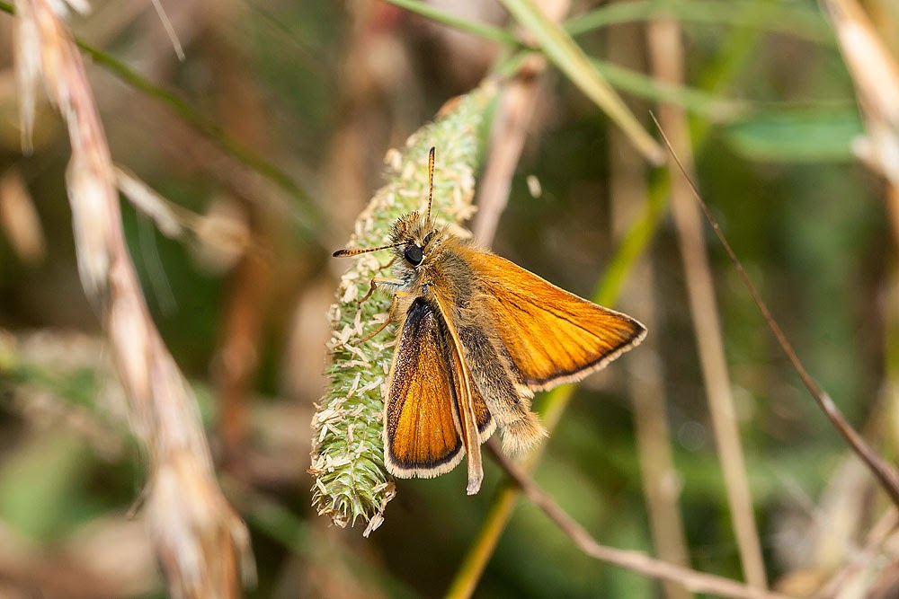 Small Skipper - Manor Farm, Milton Keynes (2013)