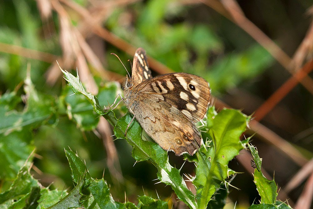 Speckled Wood - Linford Wood, Milton Keynes (2012)