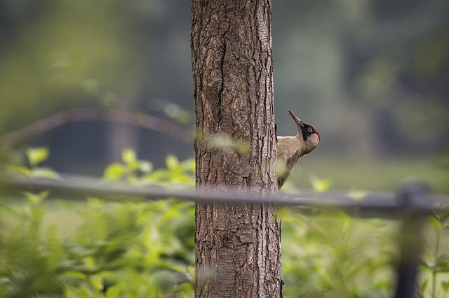 Green Woodpecker hiding behind a tree