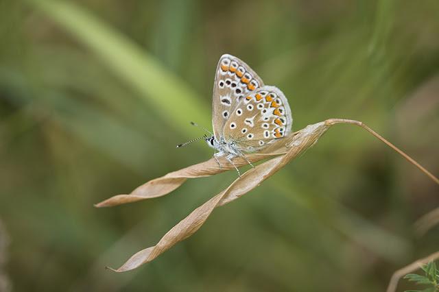 Common Blue at Furzton Lake