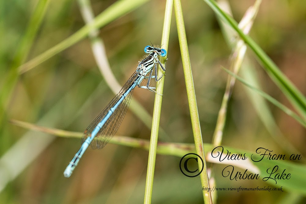 White-Legged Damselfly Male (Platycnemis pennipes) - Teardrop Lakes, Milton Keynes (2014)