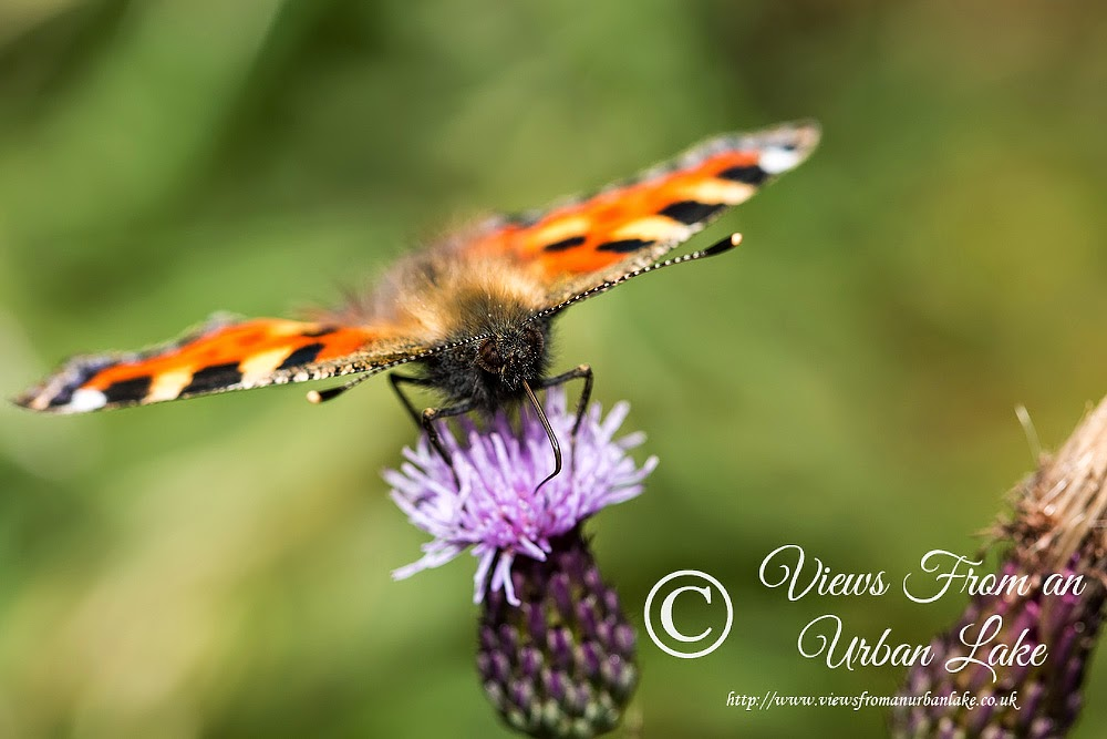 Small Tortoiseshell - Manor Farm, Milton Keynes (2014)