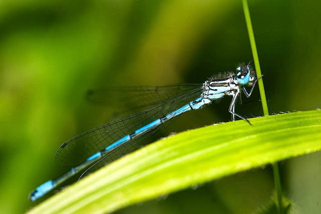 Male Azure Damselfly (Coenagrion puella), Photographed, Linford Wood, Milton Keynes, 2011