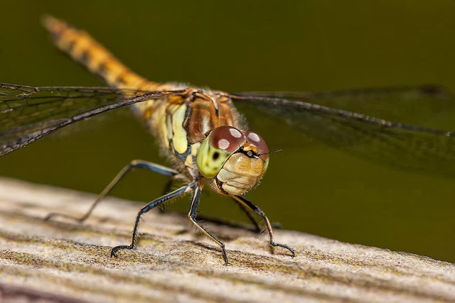Female Common Darter (Sympetrum striolatum), photographed Bradwell Abbey, Milton Keynes, 2012