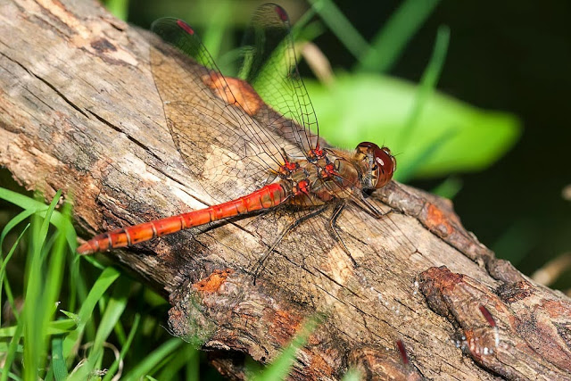 Male Common Darter (Sympetrum striolatum) Photographed Loughton Valley Park, Milton Keynes, 2012