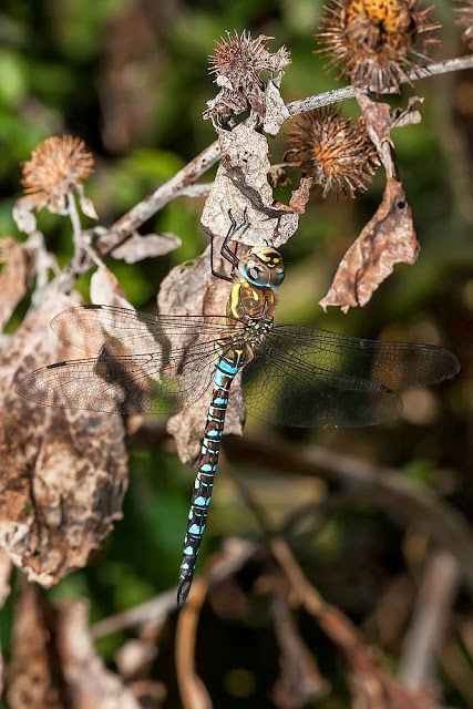 Male Migrant Hawker (Aeshna mixta), Photographed, Bradwell Abbey, Milton Keynes 2012.