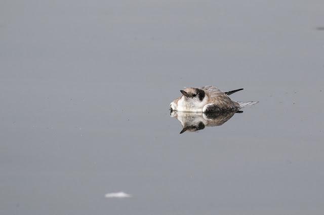 Dead Common Tern