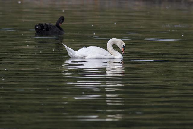 Ebony and Ivory swans