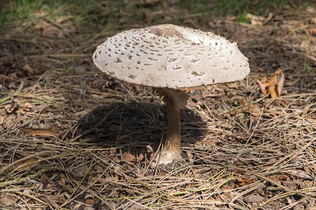 Large toadstool