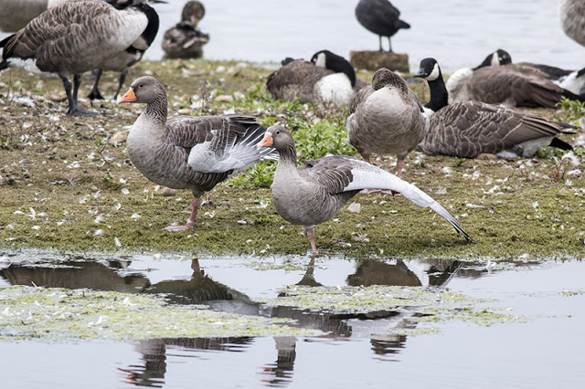 Wing Stretch - Greylag goose stretching its wing