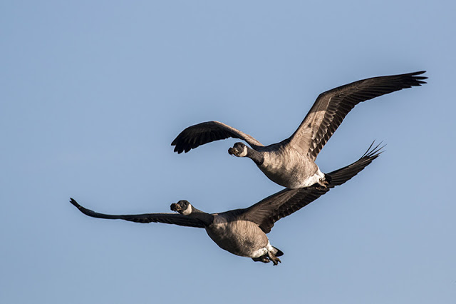 Canada Geese in Flight (note the thick mud on the beaks!)