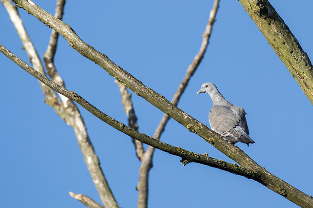 Young Wood Pigeon